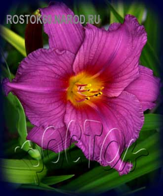 HEMEROCALLIS Chicago Royal Robe - ЛИЛЕЙНИК ЧИКАГО РОЯЛ РОБ