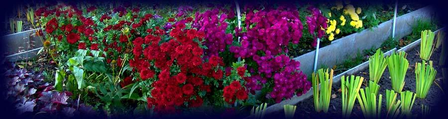 Цветы для открытого грунта